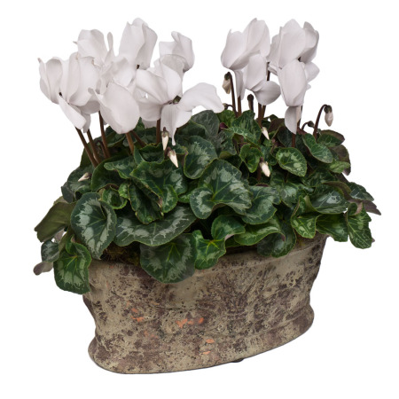 Two Cyclamen Plants