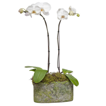Phalaenopsis Orchids in Trough