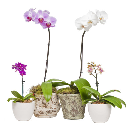 Mini Phalaenopsis