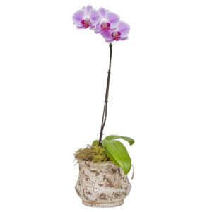 Coloured Phalaenopsis Orchid